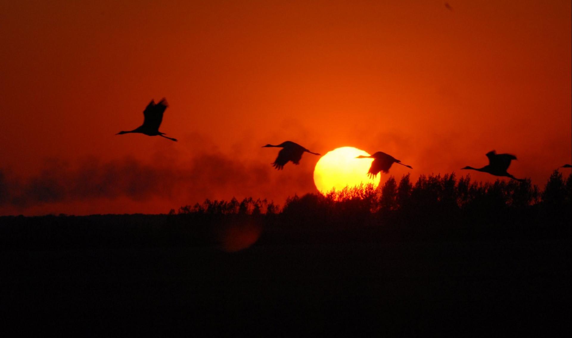 Migration of Common Cranes-Hortobágy